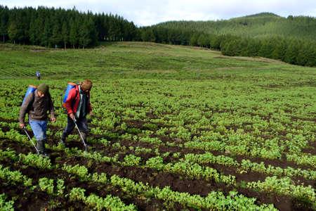 Fumigate quinoa plantation in FARM PORCON - Evangelical cooperative. Department of Cajamarca .PERU