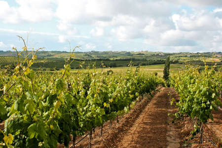 fermenting: Vineyard view in a cloudy day Stock Photo