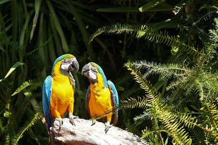 Couple of yellow chest Macaw Stock Photo - 8131163