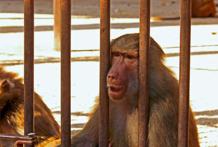 Baboon sad and hungry in the cage photo