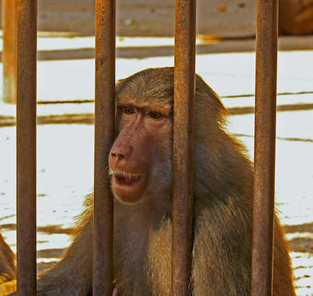 Baboon sad and hungry in the cage Stock Photo - 8533448