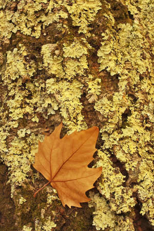 Golden leaf dry stuck in the green lichens in a trunk of a tree photo