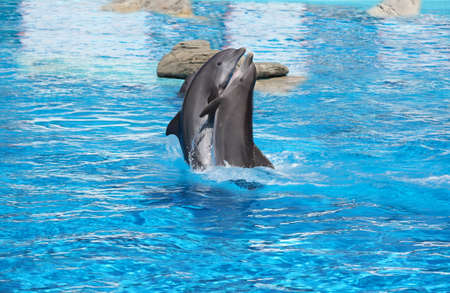 A pair of dancing dolphins in love on the water Stock Photo - 10997589