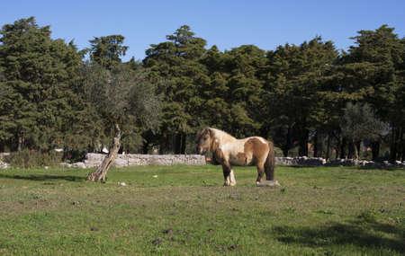 piebald: Un caballo overo, marr�n y blanco en un campo de pastos de hierba verde con �rboles de cedro y el cielo azul como fondo