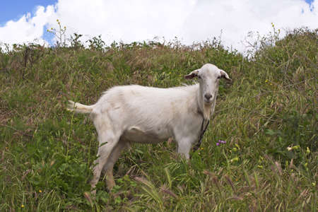 A white goat grazing on the hill photo