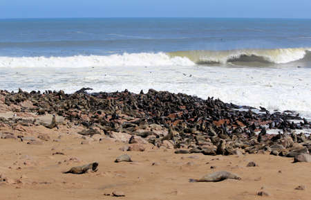 Colony of seals at Cape Cross Reserve, Atlantic Ocean coast in Namibia. photo