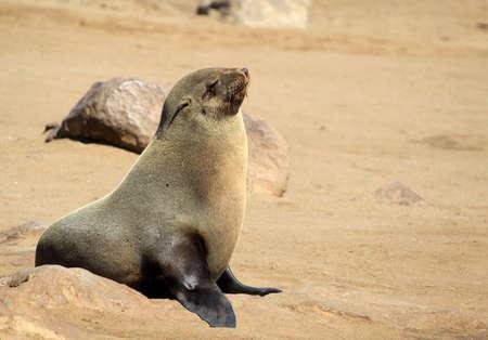 Colony of seals at Cape Cross Reserve, Atlantic Ocean coast in Namibia.