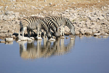 Herd of Burchell�s zebras drinking water in Etosha wildpark, Okaukuejo waterhole. Namibia photo