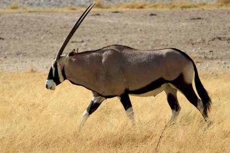 Gemsbokantelope, Etosha National Park, Namibia, Southern Africa