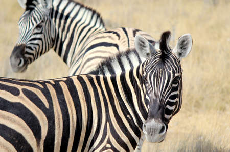 Herd of Burchell�s zebras in Etosha wildpark, Okaukuejo waterhole. Namibia photo