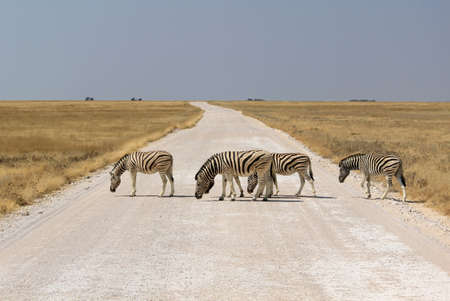 Herd of Burchell´s zebras crossing road in Etosha wildpark, Okaukuejo waterhole. Namibia