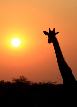 Giraffe in Etosha national reserve, Namibia  photo