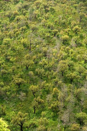 mediterranean forest: Mediterranean oak forest pattern (south Portugal)