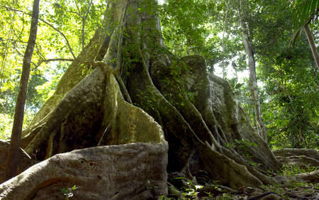 Amazon jungle tree roots detail                               Stock Photo