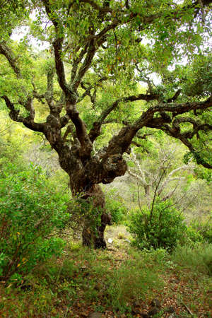 corked: Quercus sober tree, typical mediterranean vegetation in south Portugal