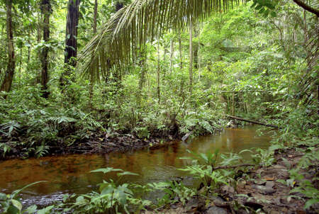 tropical rainforest:  Amazon vegetation and small water stream                           Stock Photo