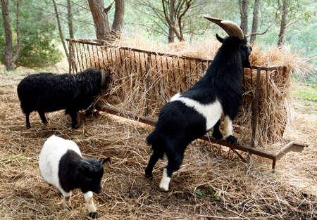 Las cabras, la agricultura tradicional dom�stico en la granja tur�stico rural Foto de archivo