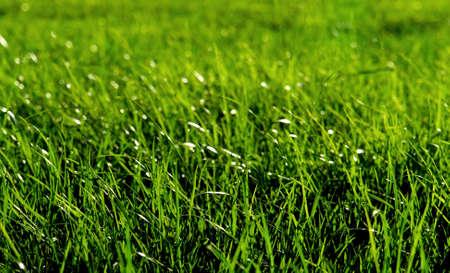 牧草地で新鮮な緑の芝生のマクロ撮影