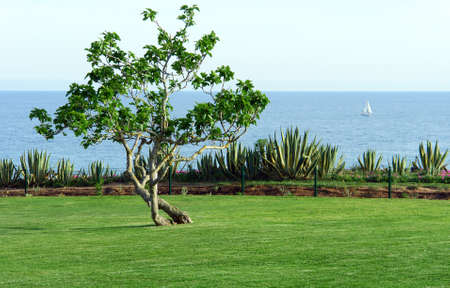 Ficus carica tree and lawn field in seascape view, Algarve, Portugal