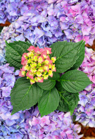 Hydrangea macrophylla, knowed as 'Hortencia' flower detail                                                 photo