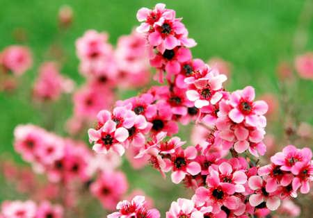 Leptospermum 花詳細 写真素材