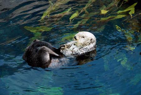 sea otter:  Sea otter swiming  Scientiphic name  Enhydra lutris