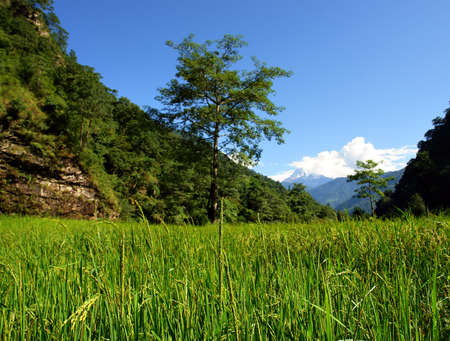Green rice fields landscape, trek to Annapurna Base Camp in Nepal photo