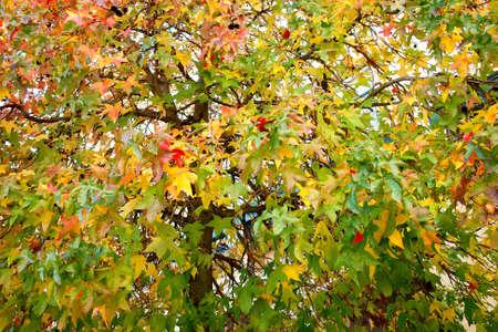 acer platanoides: Acer platanoides  Species  Autumn foliage pattern