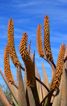Aloe Ferox plant detail (Species distributed throughout a large area along the eastern regions of Southern Africa) photo