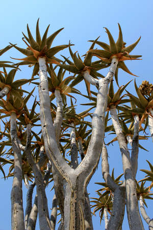 dichotoma: Quiver tree (Aloe dichotoma) tipical in the Namib desert landscape. Namibia