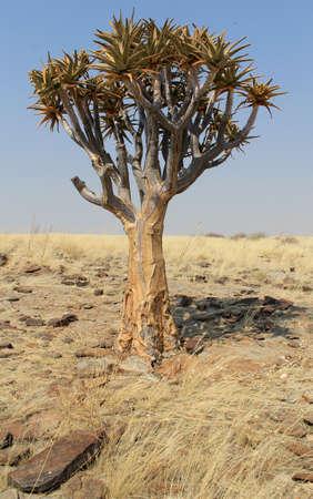 quiver: Quiver tree (Aloe dichotoma) in de Namib woestijn landschap. Namibië
