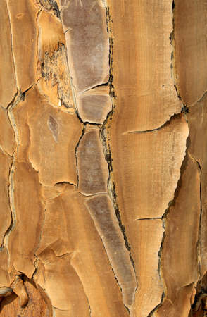 Close-up of the yellow, papery bark of a Quiver tree (Aloe dichotoma) in the Namib desert landscape. Namibia photo