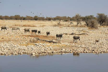 game reserve: Herd of Burchell´s zebras drinking water in Etosha wildpark, Okaukuejo waterhole  Namibia Stock Photo