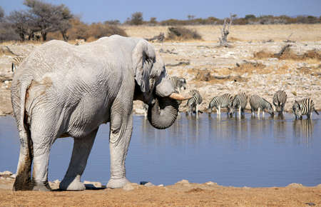African elephant bull in Etosha Wildlife Reserve, Namibia  photo