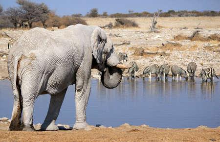 Toro del elefante africano en Etosha Wildlife Reserve, Namibia Foto de archivo