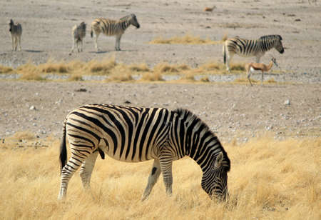 Herd of Burchell�s zebras in Etosha wildpark, Okaukuejo waterhole  Namibia photo