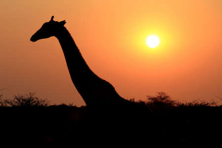 Girafe dans la r�serve nationale d'Etosha, en Namibie photo