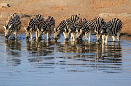 Herd of Burchell´s zebras drinking water in Etosha wildpark, Okaukuejo waterhole  Namibia Stock Photo