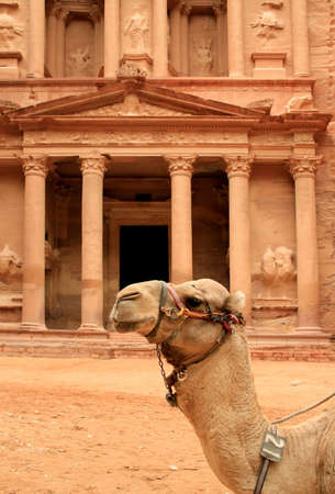 Siting Cammel and  The treasury  at Petra in the background, Lost rock city of Jordan  UNESCO world heritage site  Editorial