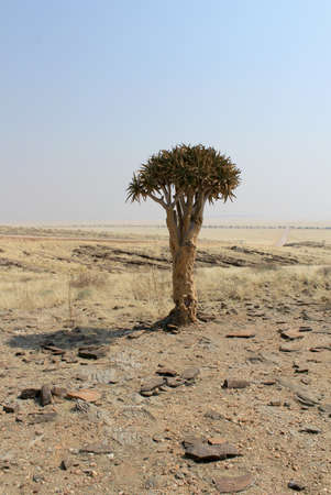 flowering aloe: Quiver tree  Aloe dichotoma  in the Namib desert landscape  Namibia