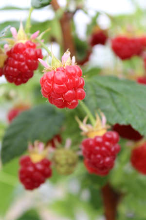 Detail of growing raspberrys in hydroponic plantation  photo