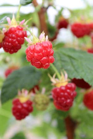 Detail of growing raspberrys in hydroponic plantation