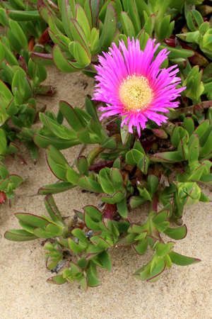 invasive plant: Carpobrotus edulis, a succulent plant, creeping, native to the Cape region in South Africa in regions with similar climate, such as the Mediterranean and parts of Australia and California, escaped the control human and has become an invasive species