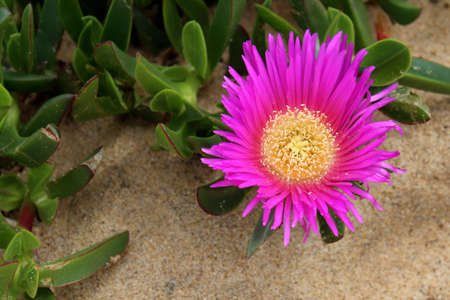 invasive species: Carpobrotus edulis, a succulent plant, creeping, native to the Cape region in South Africa in regions with similar climate, such as the Mediterranean and parts of Australia and California, escaped the control human and has become an invasive species
