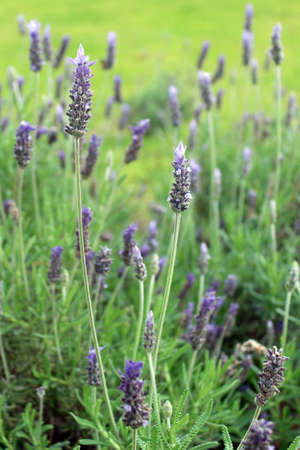 Lavandula dentata is a species of lavender, one of several species known also by Lavandula stoechas  Is native to the Mediterranean, the Atlantic islands and the Arabian peninsula  It is commonly grown as an ornamental plant and its essential oil is used