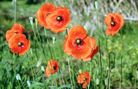 Papaver rhoeas is a species of flowering plant in the poppy stock papaver rhoeas is a species of flowering plant in the poppy family papaveraceae mightylinksfo