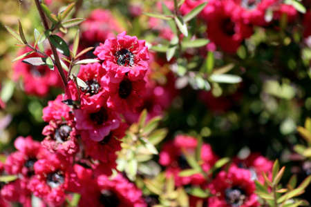 the biosphere: Leptospermum, ornamental garden plant flower close-up  Plant species of the myrtle family Myrtaceae  Most species are endemic to Australia