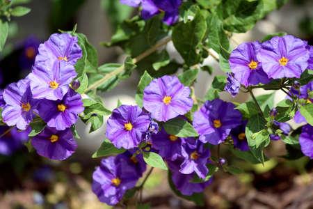 solanaceae: Solanum rantonnetii (Species: Lycianthes rantonnetii),  flowering plant in the family Solanaceae.