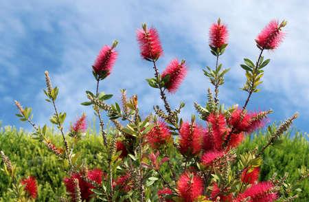 ブラシノキ、フトモモ科、すべてオーストラリアに風土性の観賞用低木の属です。