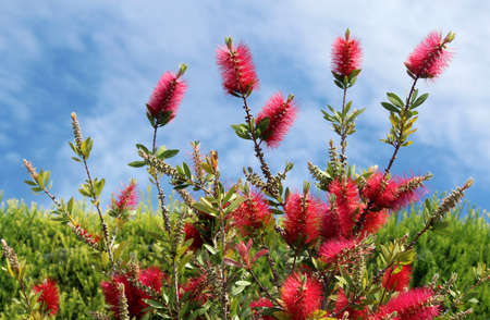 Callistemon is a genus of ornamental shrub in the family Myrtaceae, all endemic to Australia.